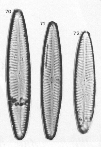 Navicula Eidrigiana Origimag2