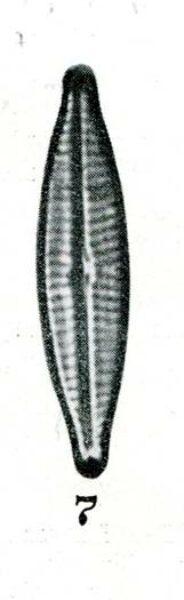 Navicula Canalis