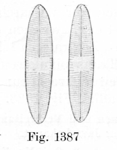 Navicula Fennica Image007