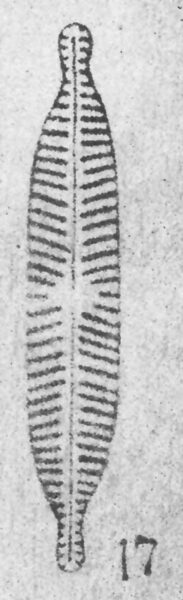 Navicula Longicephala  Ill