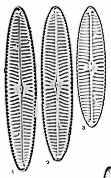 Navicula Margalithii Origimag003