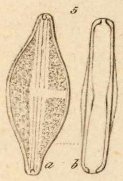 Navicula Sculpta 5Ab