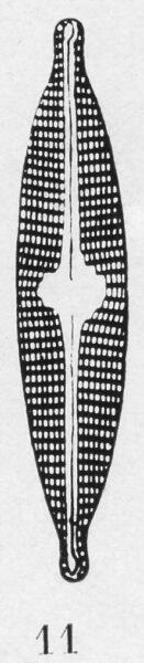 Navicula Subrhynchocephala  Ill