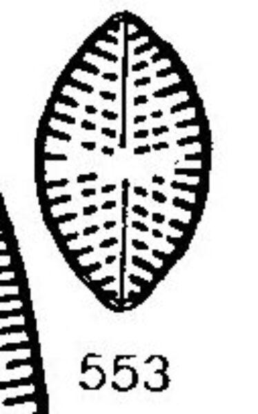 Navicula Tuscula Minor Origimag