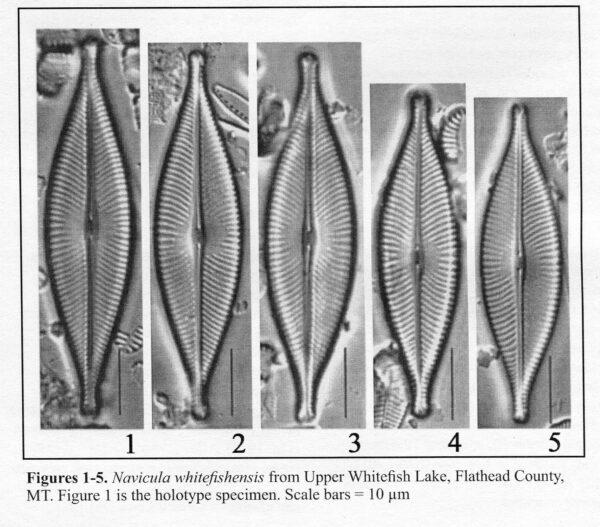 Navicula Whitefishensis Origimag004