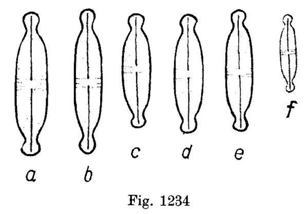 Naviculatenuicephala Origimag001