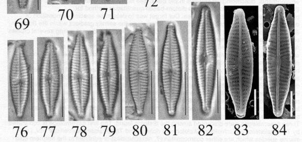 Naviculatrilatera Origimag006