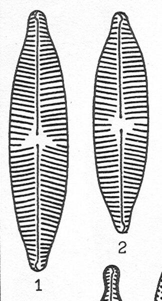 Ncryptocephaloides Origimag