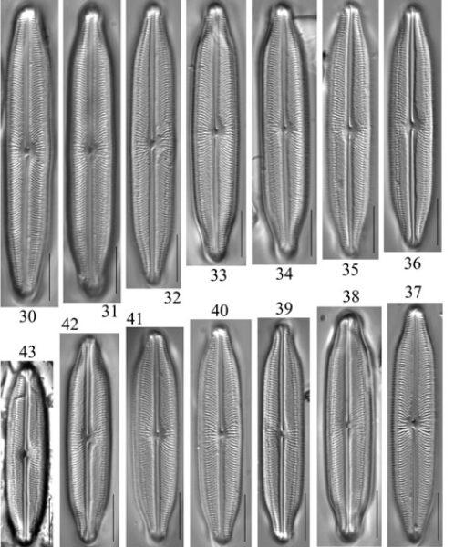 Neidiopsis  Bahls  Figures 30 43