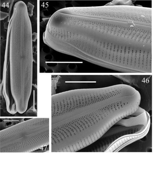 Neidiopsis  Bahls  Figures 44 47
