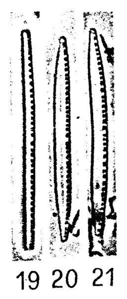 Nitzschia Acidoclinata Origimag001