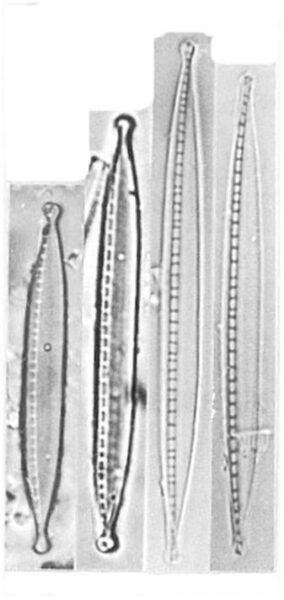 Nitzschia Dissipata Ver Oligotraphenta