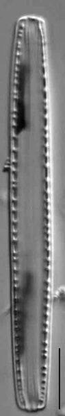 Nitzschia recta 9 slide 11381 ISOTYPE