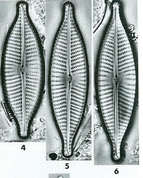 Nrhynchotella Origimage