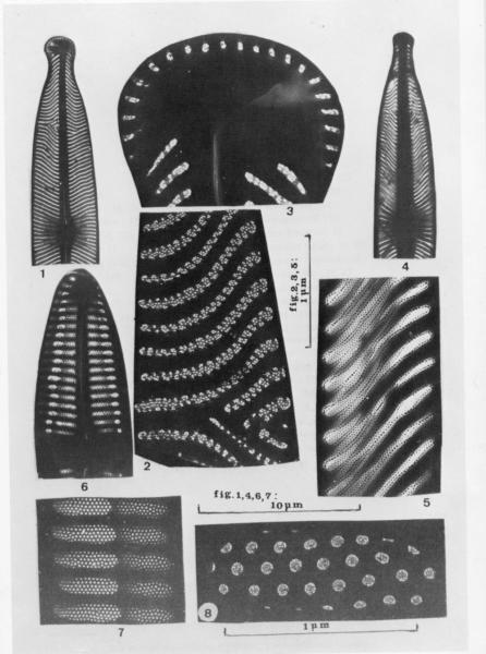 Nsubtilissima Micropunctata  Ill1