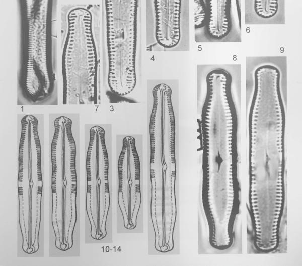 Pinnularia Scotica Orig Illus