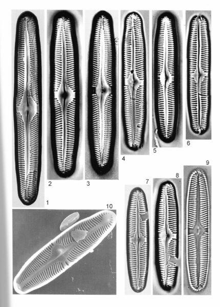 Pinnularia Rhombarea Origimag1001