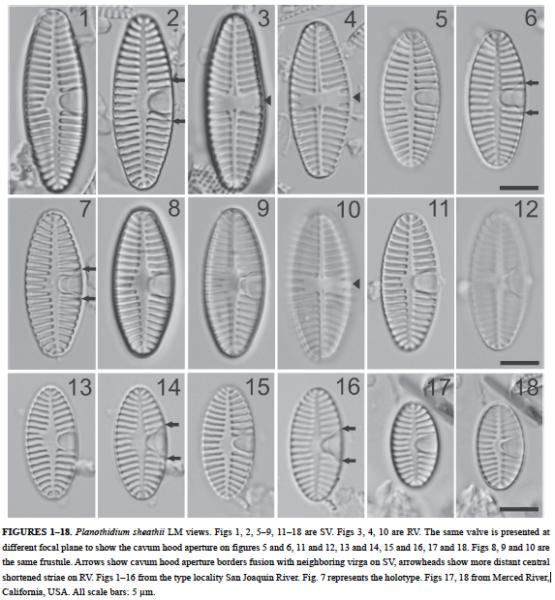 Planothidium Sheathii Orig Illus1