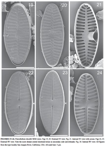Planothidium Sheathii Orig Illus2