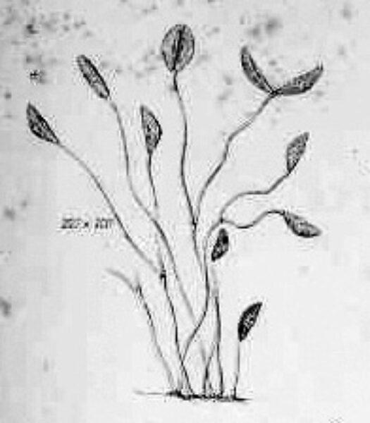 Plate Xxiv Fig 222  Cocconema Parvum  Smith1853