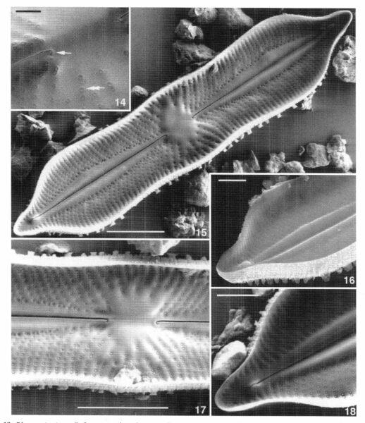 Playaensis Circumfimbria Origimag3003