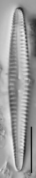 R Californica  Holotype