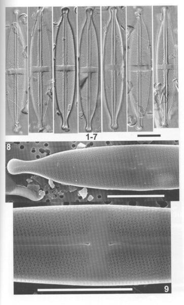 Sacidoclinatopsis Origimag