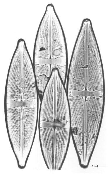 Scircumbor Origimag