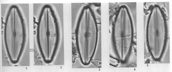 Sellabacilloides Origimages