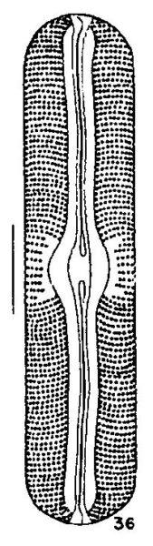 Sellaphora Alastos Origimag1001
