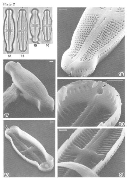 Sellaphora Japonica Orig Desc 1986 Plate