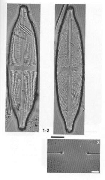 Sfluminopsis Origimag2