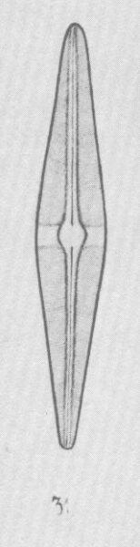 Sschroederi Origimag1
