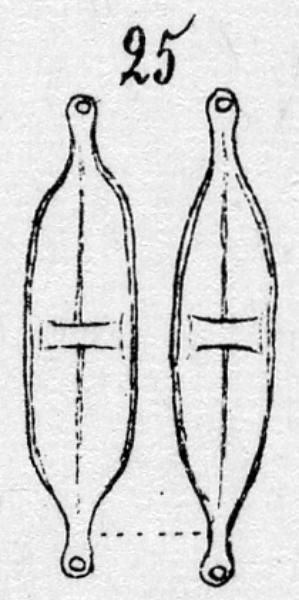 Stauroneis Amphicephala  Orig Ill