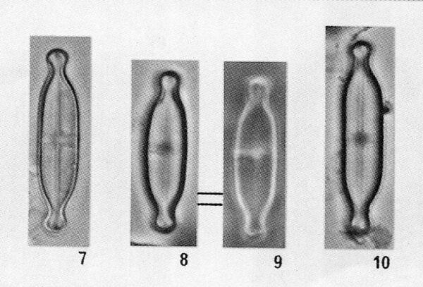Stauroneisgracillima Origimag001
