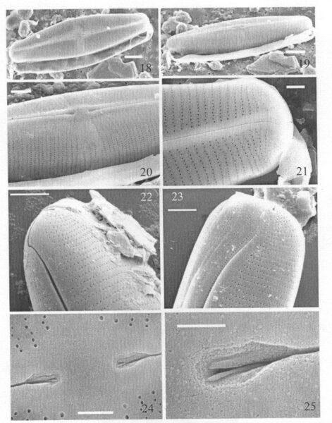 Staurophorabrantii Origimag2