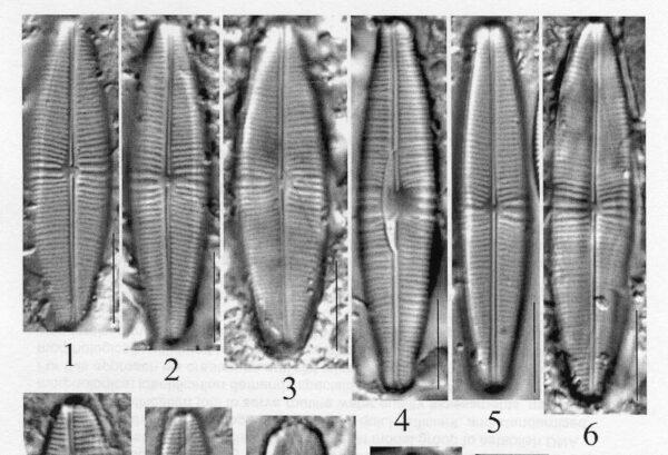 Staurophoracolumbiana Origimag012