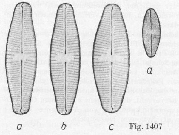 Staurophoratackei Origimag