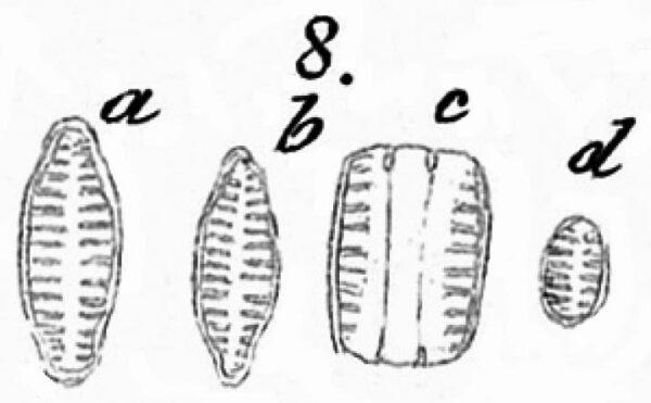Staurosirella Leptoatauron Var Dubia Iconotype