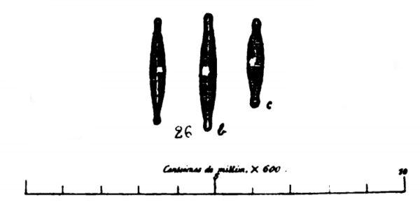 Synedra Capitellata Original Image