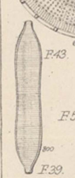 Tryblionella Apiculata Figure