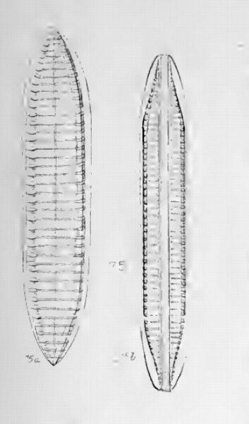 Tryblionella Gracilis Orig Ill