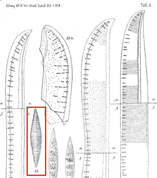 Tryblionella Lanceola Orig Illus