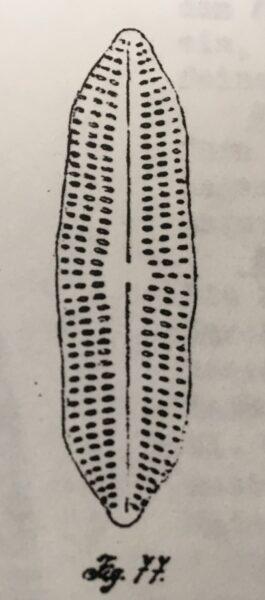 Type  Caloneis Baltica V  Undulata  Schulz 1926