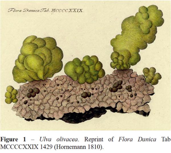 Gomphonella olivacea | Species - Diatoms of North America