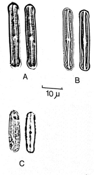 Achnanthes duthei orig illus 2