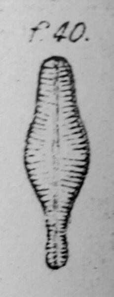 Cymbella ventricosum orig desc