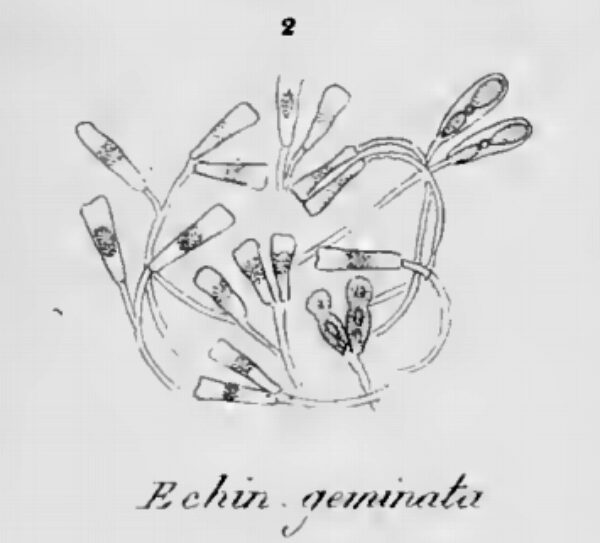 Echinella Geminata Orig Image