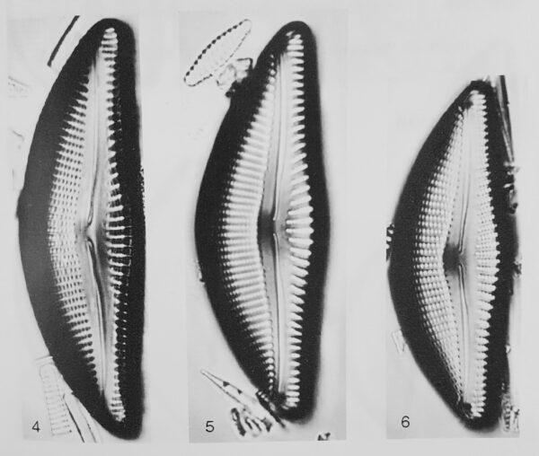 Encyonema yellowstonianum orig illus