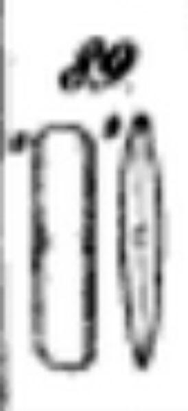 Encyonopsis Cesatii Orig Image